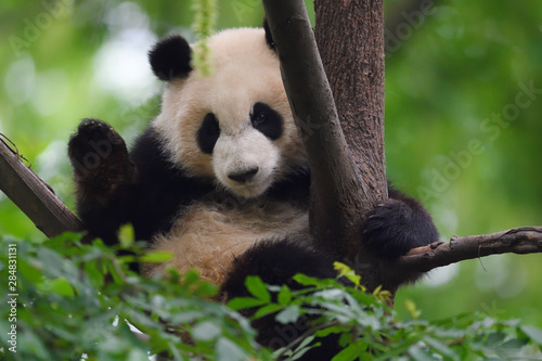 Close up of a Giant panda in a tree Wallpaper Mural
