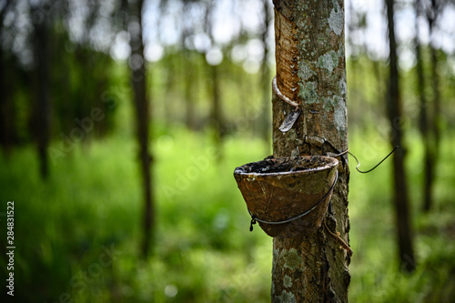 Tapping latex rubber tree, Rubber Latex extracted from rubber tree, harvest in Thailand Canvas Print
