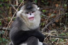 Black And White Snub Nosed Monkey In The Forest