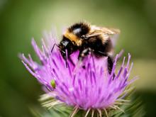 Honey Bee On Thistle Flower