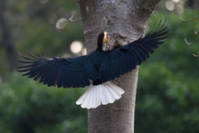 Wreathed Hornbill Fly In The Forest