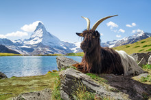 Valais Blackneck Goat Sitting In Front Of Stellisee And Matterhorn Mountain, Canton Of Valais, Switzerland