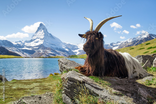 Foto Valais blackneck goat sitting in front of Stellisee and Matterhorn mountain, Can