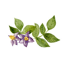 Purple Potato Flowers And Leaves Isolated On White Background. Watercolor Handdrawn Illustration. Hand Made Clipart.