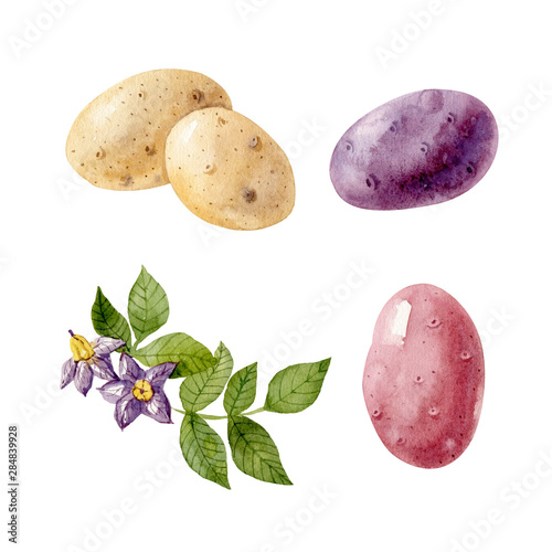 Stampa su Tela Watercolor set with colored potatos and potato flowers and leaves isolated on white background