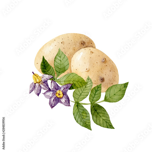White potatos and purple potato flowers and leaves isolated on white background Fototapeta