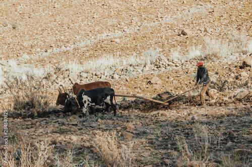 Fotografija Ethiopian farmer plows fields with cows