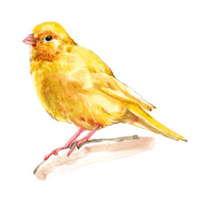 Watercolor Single Canary Animal Isolated On A White Background Illustration.