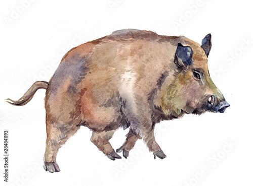 akwarela-jednego-dzika-swinia-zwierze