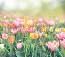 Tulip Flowers Meadow. Spring N...