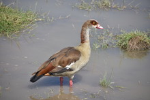 Egyptian Goose Wading In Profi...