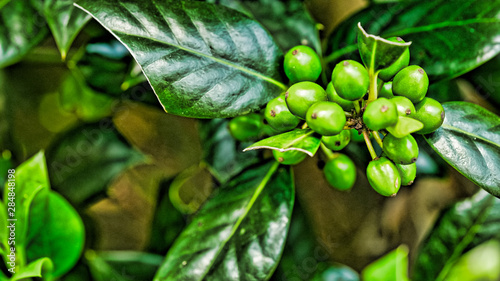 Green berries on shiny leaves
