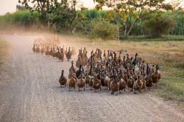 Flock of ducks herding on dirt road