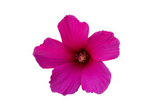 Pink Hibiscus Flower On A Whit...