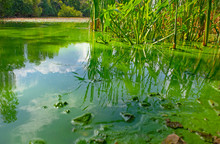 Water Landscape With Blue-green Algae Surface. Natural View Of Lake, Swamp Or River With Blooming Cyanobacteria. It Is World Environmental Problem And Ecology Concept Of Polluted Nature.