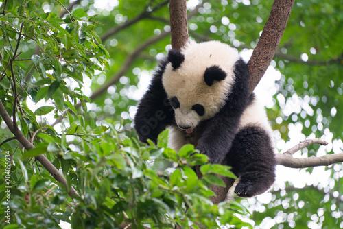 Poster Panda Giant Panda sleeping high up a in tree in Chengdu China