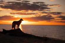 Toller Dog At Sunset By The Sea. Nova Scotia Duck Tolling Retriever Is On Vacation. Pet Travel