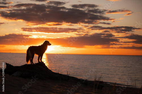 Photo sur Toile Cappuccino toller dog at sunset by the sea. Nova Scotia Duck Tolling Retriever is on vacation. Pet Travel