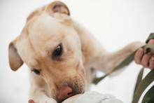Cute Golden Labrador Sniffing ...