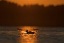 Silhouette Of Mallard Duck In Water