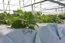 Seed Potato Agriculture. Potat...