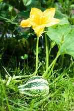 Green Striped Warty Pumpkin On A Bush In The Garden. Ornamental Plants, Farmers Season