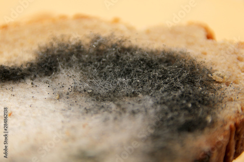 Valokuvatapetti photograph of a piece of rye bread covered with gray and black mold, copy space,