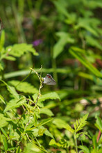 A Solitary Gray Hairstreak Alights On A Stalk Of Grass On A Background Of Thick Foliage