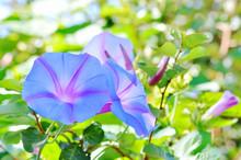 Blue Morning Glory Flowers Under Summer Sunlight
