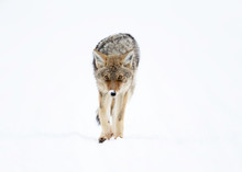 Coyote In Winter - Yellowstone...