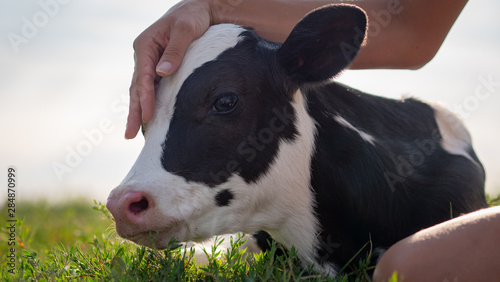 Tableau sur Toile Authentic close up shot of young woman farmer hand is caressing  an ecologically grown newborn calf used for biological milk products industry on a green lawn of a countryside farm with a sun shining