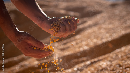 Foto Close up shot of an young successful man farmer is controlling with his hands at the moment harvested corn grains in a agricultural silo