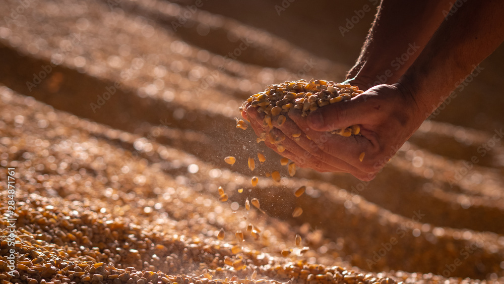 Fototapeta Close up shot of an young successful man farmer is controlling with his hands at the moment harvested corn grains in a agricultural silo.