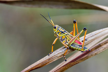 Beautiful Eastern Lubber Grasshopper Is Ready To Escape From The Scene.