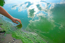 Child Hand And Blue-green Algae. Water Pollution By Blooming Cyanobacteria Is World Environmental Problem. Ecology Concept Of Polluted Nature.