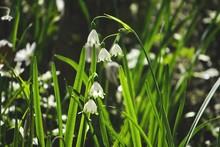 Leucojum Vernum Bloom