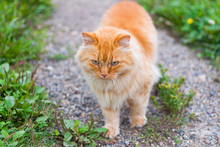 Beautiful Red Fluffy Cat Walking In The Garden