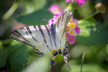 Close-up Of Scarce Swallowtail...
