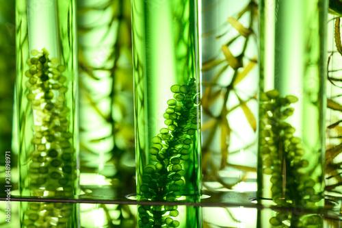 algae biofuel tube in biotech laboratory, Photobioreactor in lab algae fuel biof Canvas Print