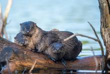 Otter Family 2