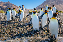 Colony Of King Penguins Standing Near Beach
