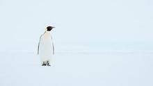 Emperor Penguin Standing In Sn...
