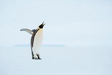 Emperor Penguin Standing On Snowy Landscape