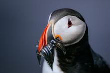 Close Up Of Atlantic Puffin With Beak Full Of Fish