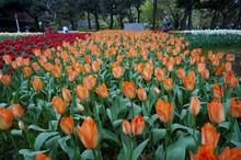 Tulip Flower Garden In Yokohama, Japan