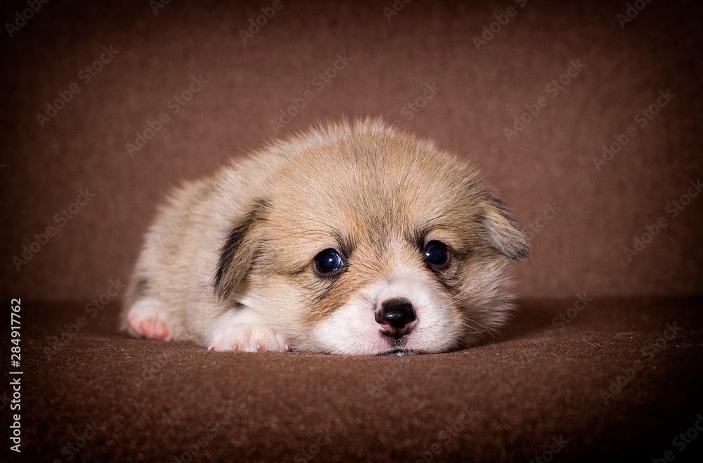 Fototapety, obrazy: little welsh corgi puppy looking