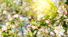 Flowers Of Apple Tree In The Rays Of A Bright Sun. Shallow Depth Of Field. Wide Photo.