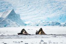 Two Humpback Whales Bubble Net Feeding In Cierva Cove, Antarctic Peninsula