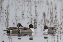 Male Pintail Ducks In Marsh