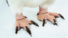 Close Up Of Adelie Penguin's Feet In Snow